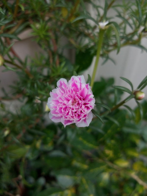 複瓣松葉牡丹 Portulaca pilosa, kiss-me-quick, hairy pigweed